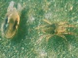 200 Stück PP Raubmilben - Nützlinge gegen Spinnmilben - Biologischer Pflanzenschutz
