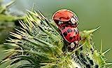 TwinterS - 30 Marienkäfer-Larven zur Bekämpfung von Blattläusen