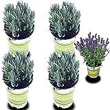 4 Lavendel-Pflanzen: Lavendel-Pflanze im Topf | Gärtnerqualität | Lavendel-Topf winterhart mehrjährig | Staude für Balkon und Garten | Gartenpflanze winterhart | Balkonpflanze mehrjährig