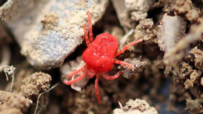 Raubmilben gegen Spinnmilben