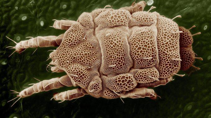 Raubmilben - Nützlinge gegen Thrips und Milben
