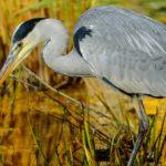 Fischreiher vom Teich fernhalten - Tipps & Tricks
