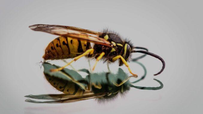 Wespen sind nützliche Insekten