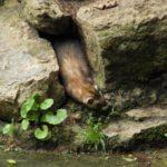 Marderkot im Garten. Marder Kot erkennen und entsorgen